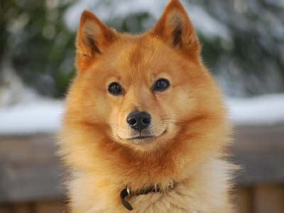 finnish spitz information characteristics facts names