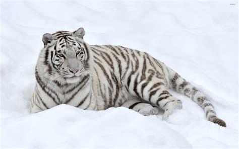 White Snow Tiger Wallpaper white tiger in snow wallpaper gallery