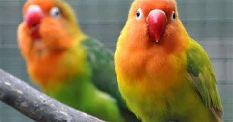 Obat Tetes Mata Yg Kuning tips mengobati burung lovebird yang sakit mata tips