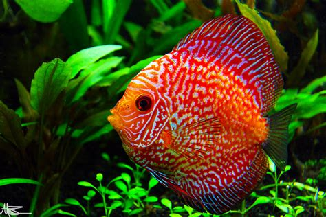 pigeon blood pigeon blood discus live tropical fish