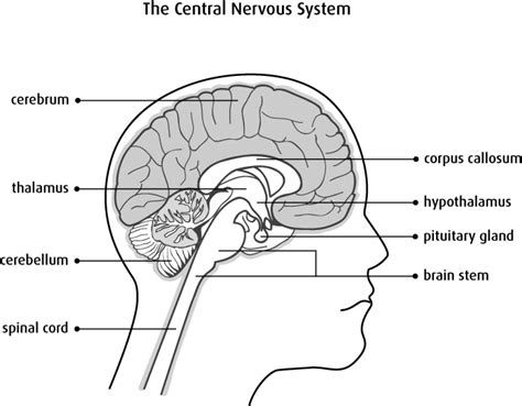 Parts Of The Brain Worksheet by Anatomy And Physiology Of The Brain And Spinal Cord