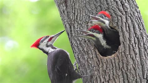 pileated woodpecker chicks at the nest youtube