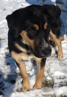 lorain county kennel columbiana shelter lisbon ohio frank is a big rottie boy looking for a new home