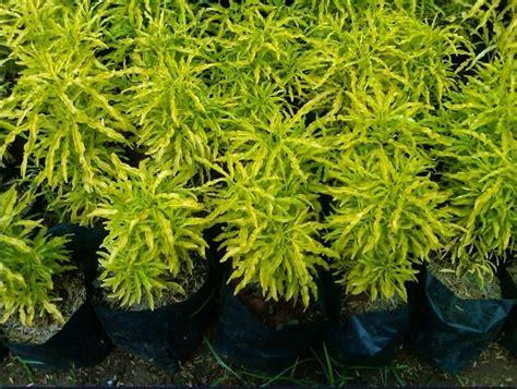 harga tanaman brokoli kuning kelebihan   perawatannya