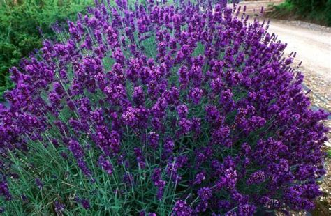 most fragrant lavender plants lavandula hidcote highly fragrant lavender