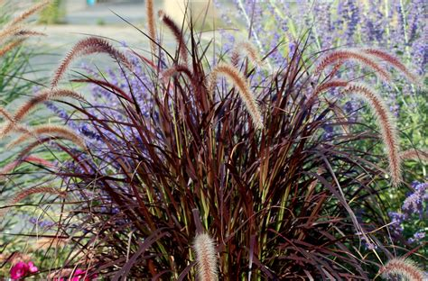 grow  care  purple fountain grass