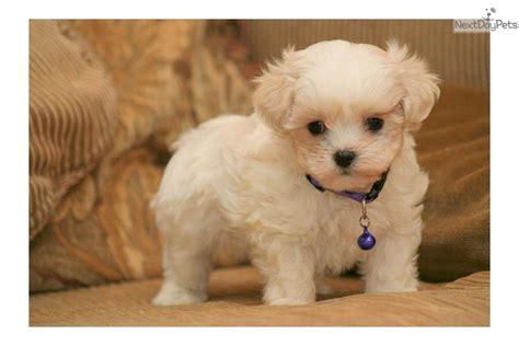 mal shi puppies mal shi malshi puppy for sale near sioux city iowa 667d2751 bc11