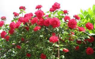 Photo Flower Vase Roses Flower Wallpaper