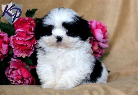 shih tzu for sale in pa how to stop dogs from biting each others ears shih tzu for sale in pa