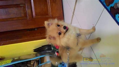 Anjing Minipom Stambum dunia anjing jual anjing pomeranian dijual anjing