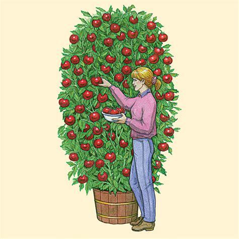Health Pride   Giant Tree Tomato