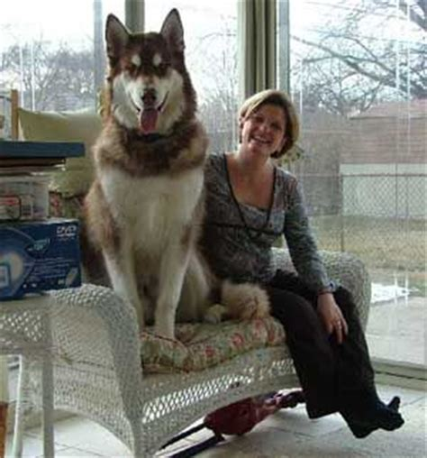 giant alaskan malamute on couch 17 best images about alaskan malamute on pinterest the