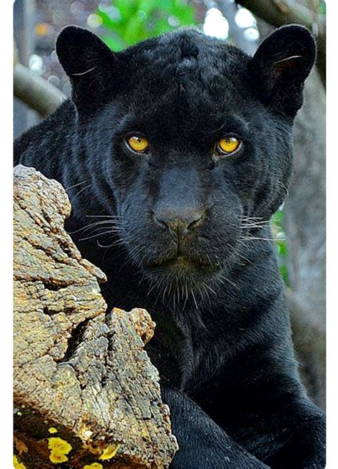 what color is a panther black panther with golden these big cats