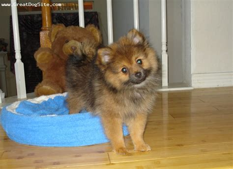 pomeranian puppies for sale in vancouver washington pomeranian puppies for sale in orange county breeds picture