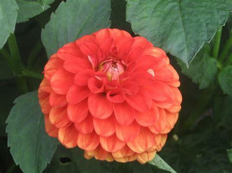 flower bloom vermillion flower bloom by nethilia on deviantart