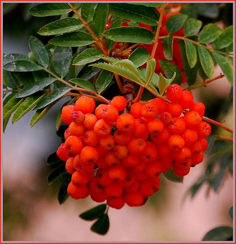 orange berries on orange berry tree flickr photo sharing