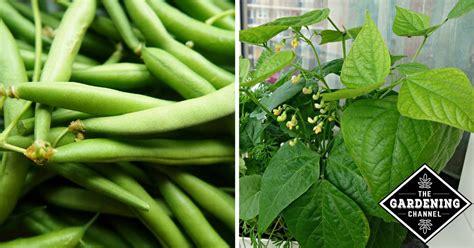 urban gardeners guide  growing green beans