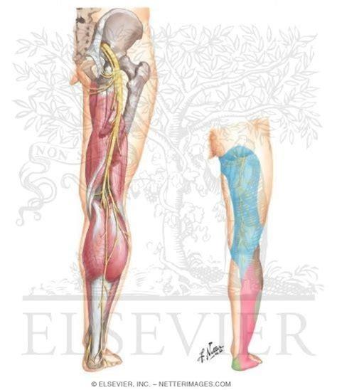 Kode Arti Treameant sciatic nerve l4 l5 s1 s2 s3 and posterior femoral