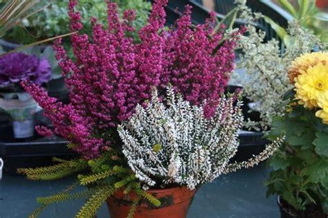 erica in vaso erica fiore piante perenni fiore dell erica