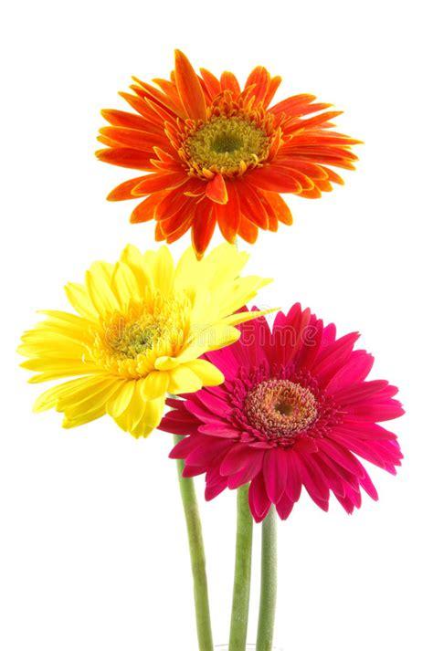 thinkin of home gerber daisy love gerber daisies gerbera daisies colors orange gerber