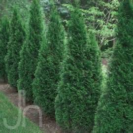 emerald green arborvitae home depot i am a home depot store associate trained and authorized