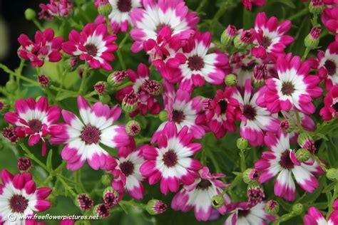 floral pictures senecio cruentus picture flower pictures 5394