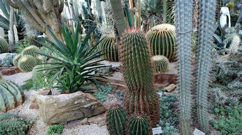 cuscino di suocera cuscino della suocera echinocactus grusonii coltivazione