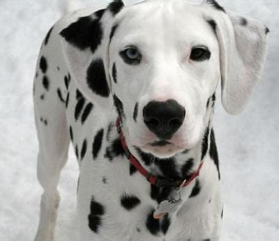 pictures of dalmatian puppies dalmatian dogs dalmatian breed info pictures petmd