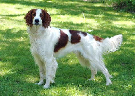 american setter dog irish red and white setter natural history