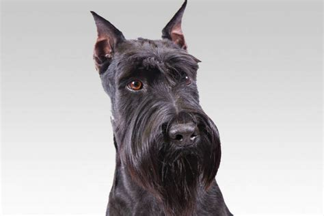 How To Keep Dog From Barking by Standard Schnauzer Dog Breed Information American Kennel