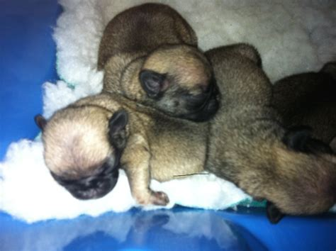 pug breeder uk pug puppies pug breeders pugs for sale pugs breeds picture