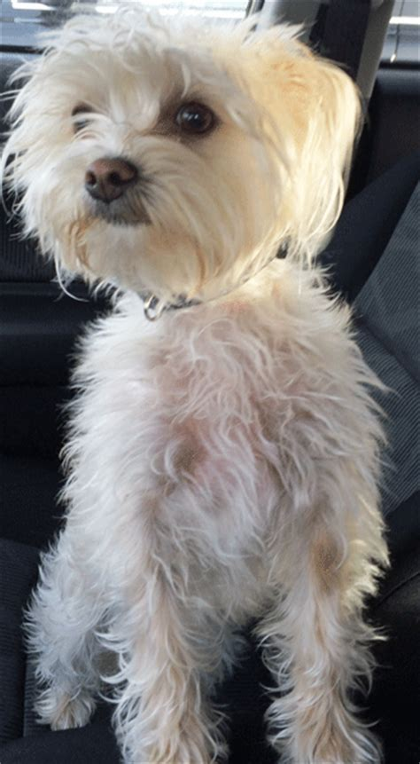 yorki maltese mix nana maltese terrier mix adopted 12 21 13 171 foreclosed upon pets