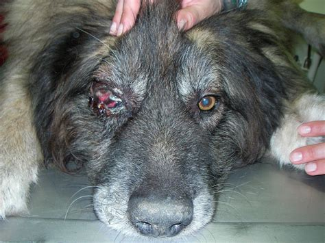 conjunctivitis in dogs treatment picture conjunctivitis breeds picture