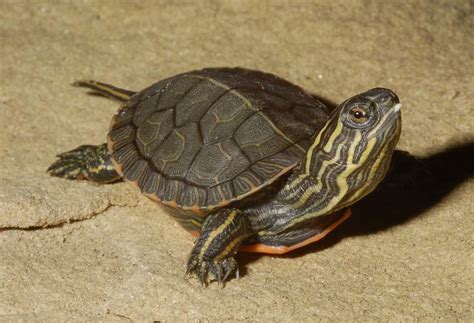 Heat L For Aquatic Turtles by Painted Turtle Herpetological Resource And Management Llc