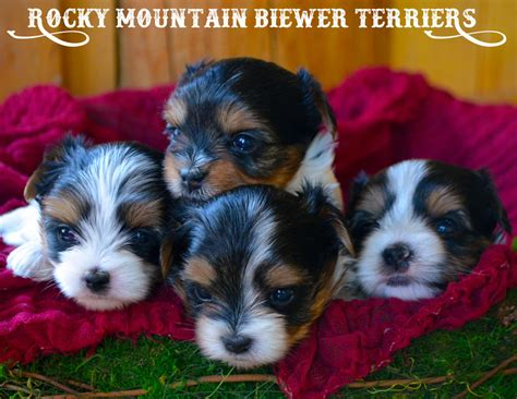 biewer terrier puppies available biewer terrier puppies rocky mountain biewer terriers