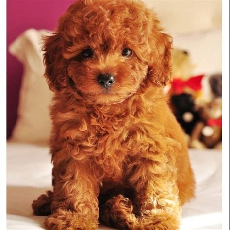 poodle doodle puppies for sale goldendoodle itty bitty ones