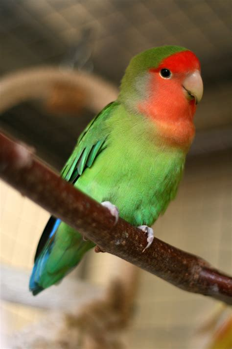 file agapornis roseicollis peach faced lovebird pet on