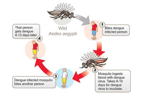 pathophysiology of malaria diagram stay safe from dengue mosquitoes kauvery hospital