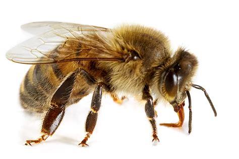 api per gwyneth paltrow dieta e puntura delle api dissapore