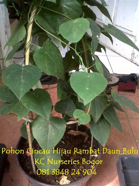 Bibit Cincau Hitam By Kcn Bogor kc nurseries bogor jual bibit tanaman cincau hijau dan