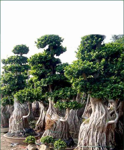 Sho Natur Ginseng ficus microcarpa ficus ginseng multi tree