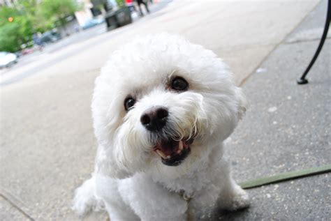 all about dogs bichon frise breed information all about dogs