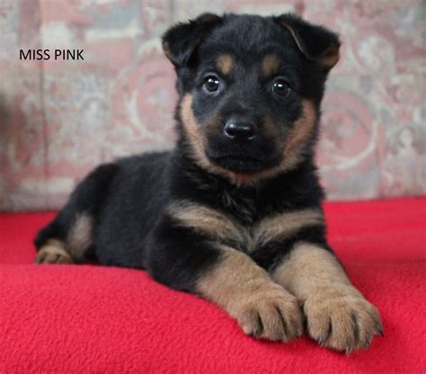rottweiler x german shepherd puppies for sale german shepherd x rottweiler puppies 1 left stowmarket suffolk pets4homes