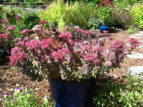 Rosy Gardens by Plantfiles Pictures Sedum Showy Stonecrop Rosy Glow