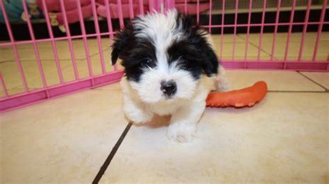 shih tzu coton mix shih ton the hybrid tzu and coton breeds picture