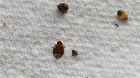 Do Bed Bugs Die With by How To Kill Bed Bugs Using Home Remedies