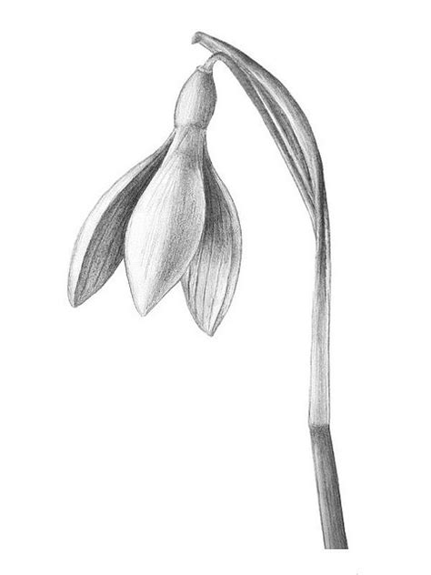 snowdrop tattoo designs snowdrop botanical drawing for the wall