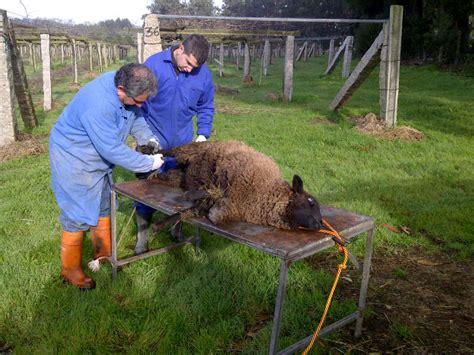 sheep shearing table plans a vineyard trim best albari 241 o bodegas castro martin rias