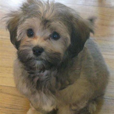shih tzu breeders in wisconsin shih tzu yorkie mix puppies for sale in wi breeds