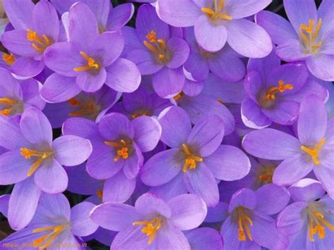 state flower of illinois wwe wrestlers profile illinois state flower violet galery wallpapers